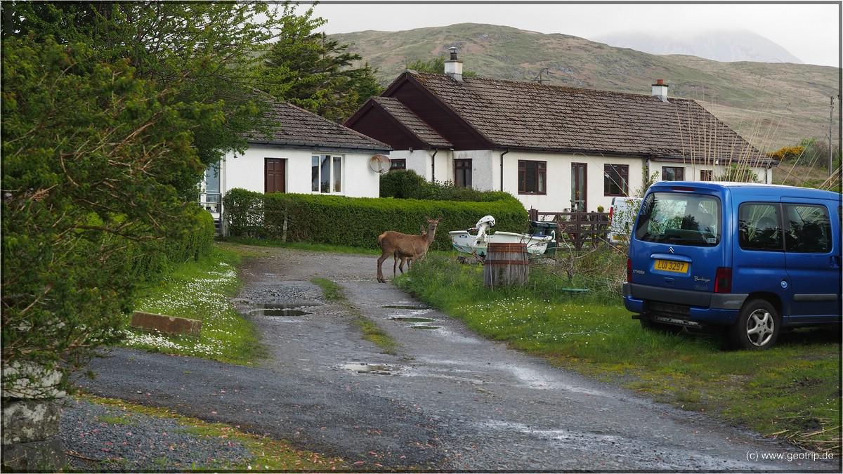 Rehe MITTEN im Dorf - gibts wohl nur auf Jura