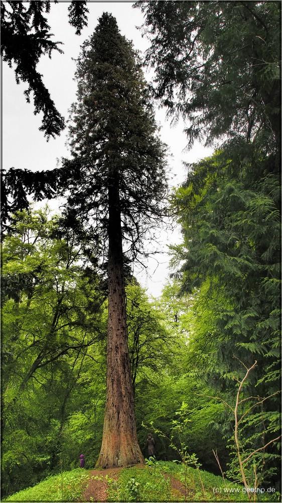 Sequoia in Dianas Grove
