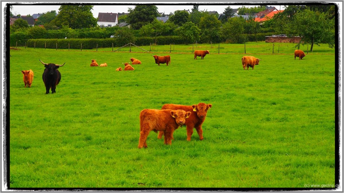 Umgeben von - schottischem - Rind