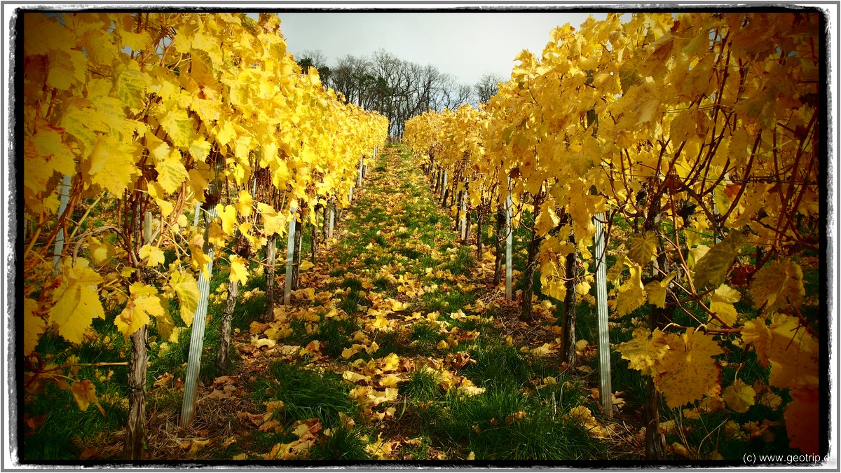 Weinberge im Herbstkleid