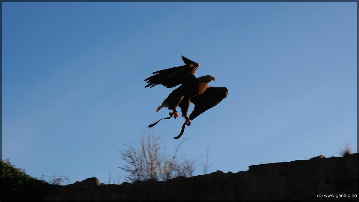 Adler im Landeanflug