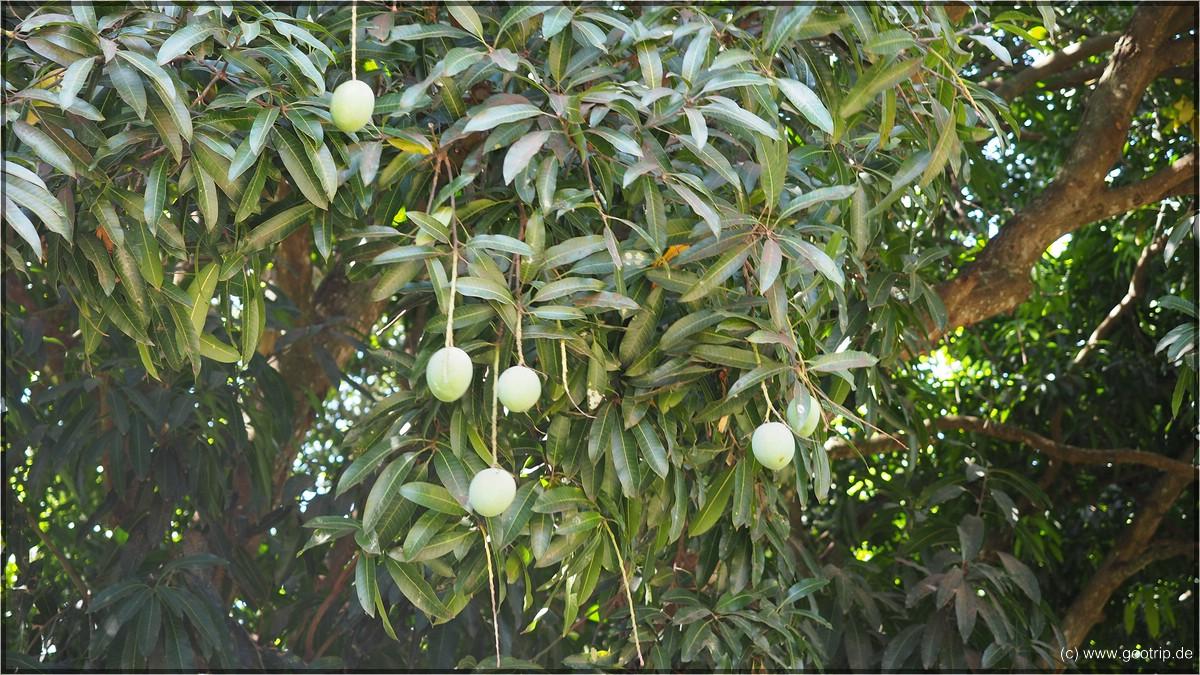 und den Mangos beim runterfallen zuschauen...