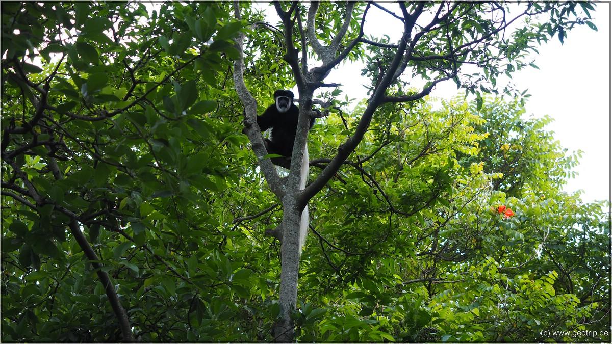 XY Affen in den Bäumen über uns