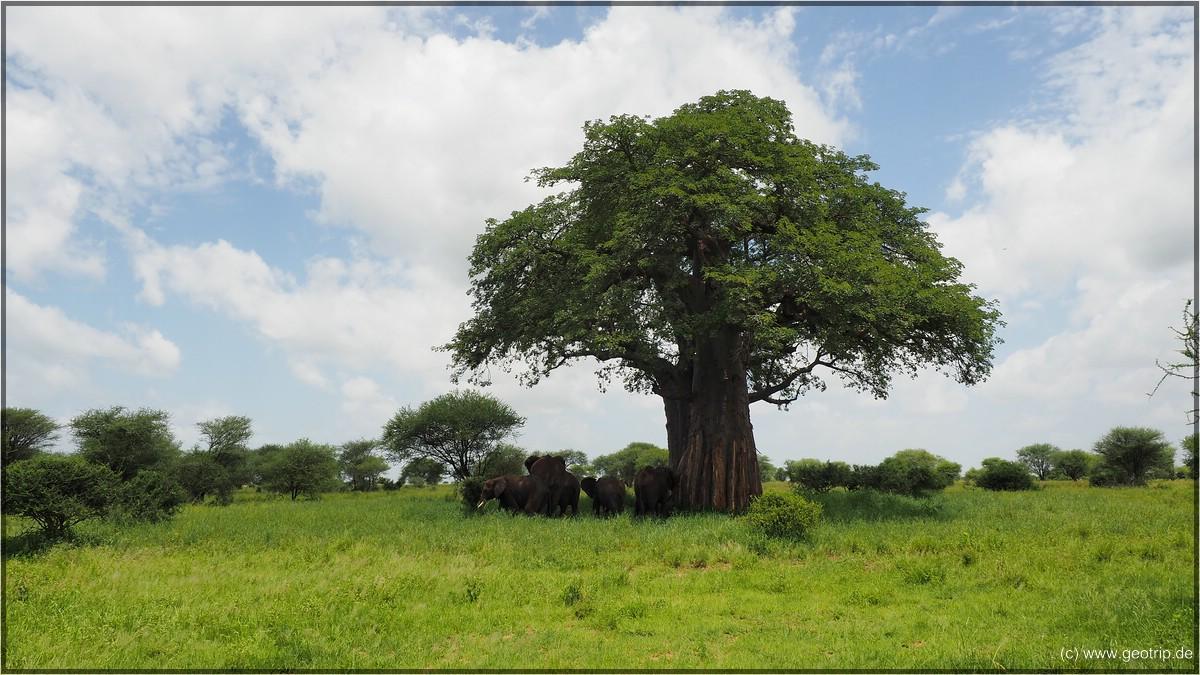 Ein Baobab - Affenbrotbaum