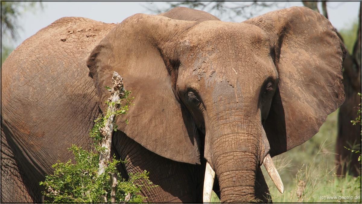 Die Ohren haben die Form Afrikas - ganz klar: afrikanischer Elefant