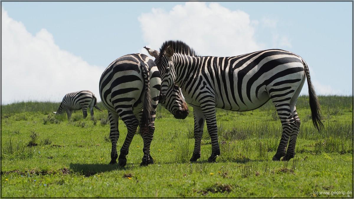 und plötzlich: Zebras!