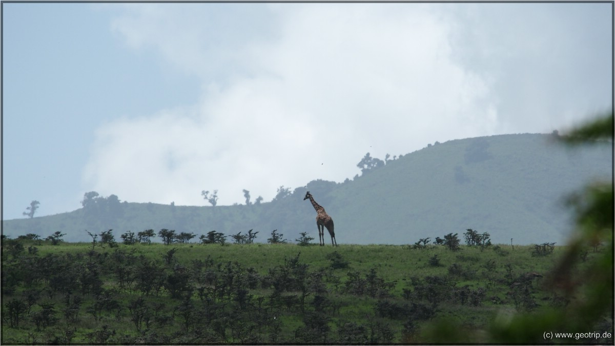 Und natürlich Giraffen