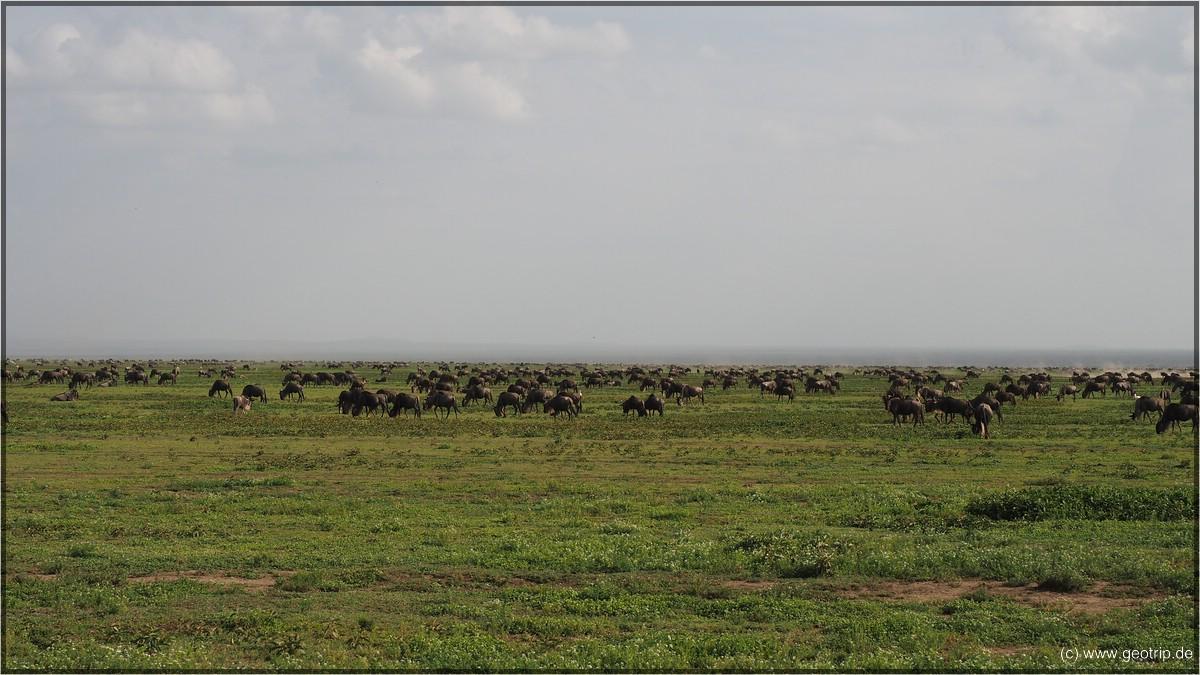 Serengeti - schwer aufs Bild zu bekommen: Big Migration