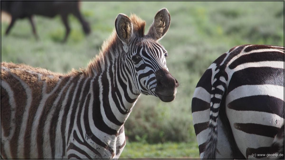 Zebra ;)