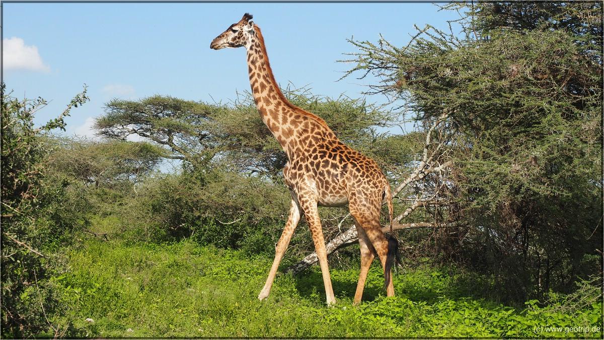 Giraffe ;)