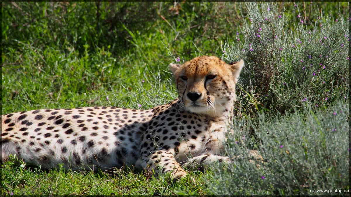 EIn Gepard