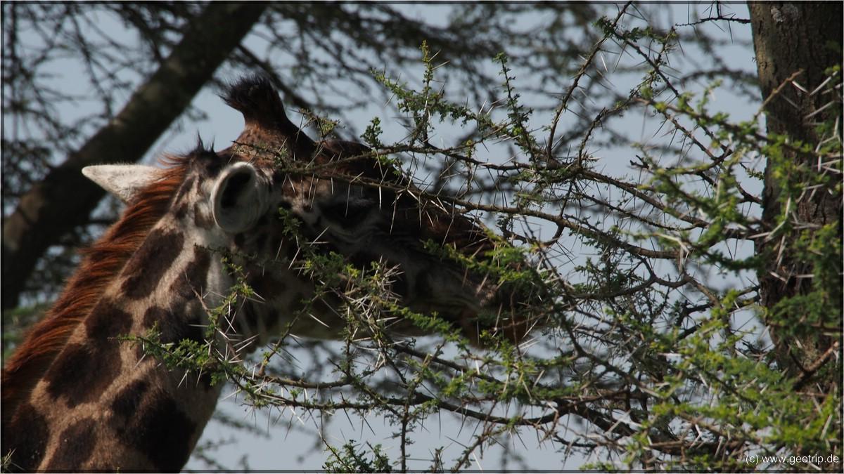 Nicht auf dei Giraffe schauen, sondern auf die 5cm Stacheln an den Bäumen