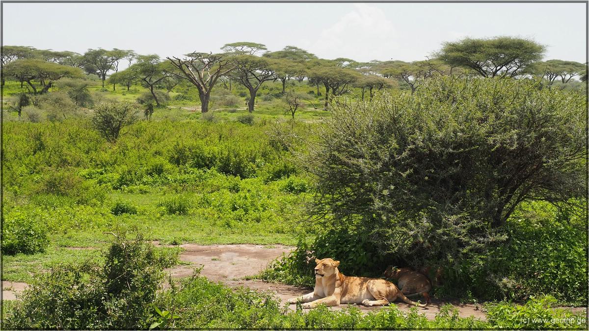 In schönster Landscchaft: Löwen