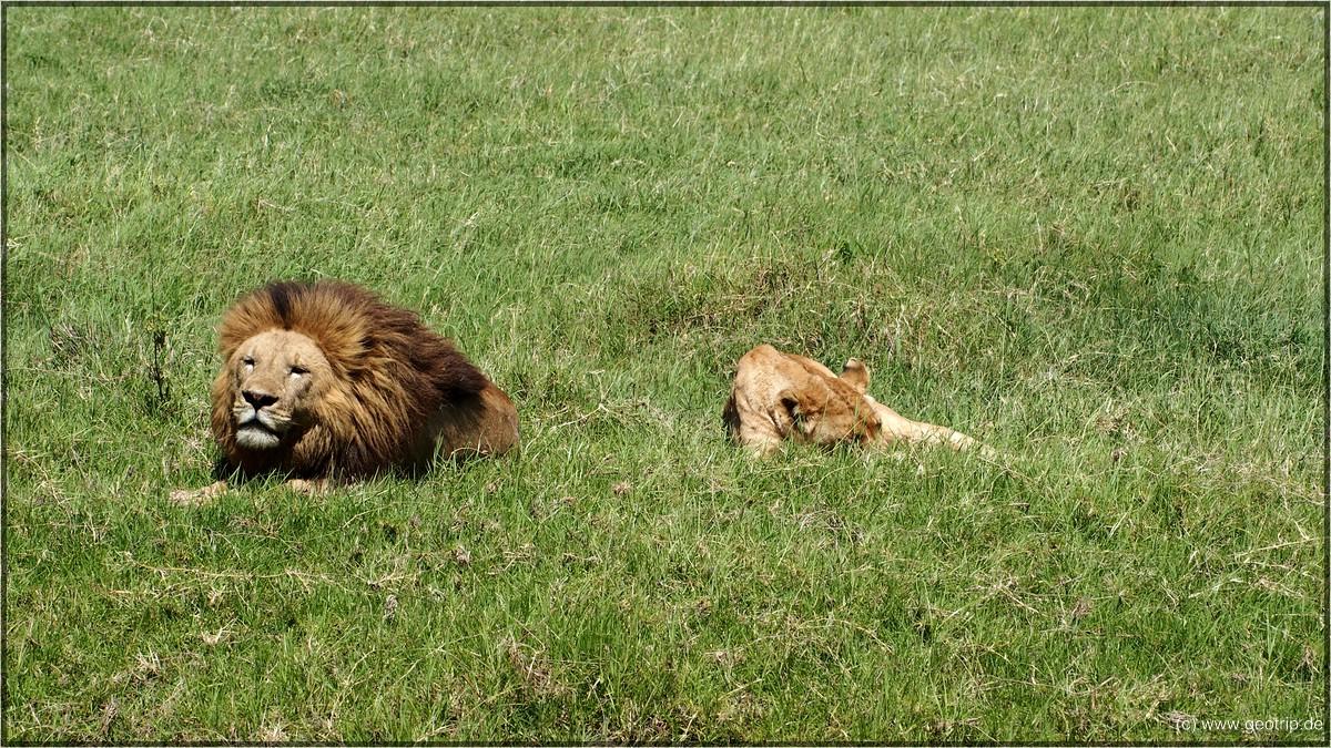 Ein männlicher Löwe