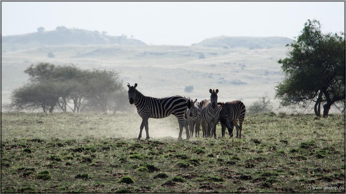 Zebras im Staub