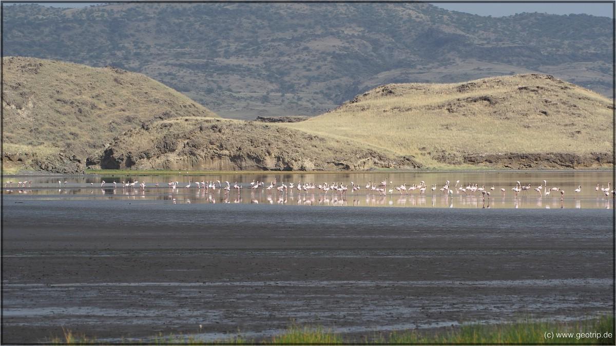 Flamingos III
