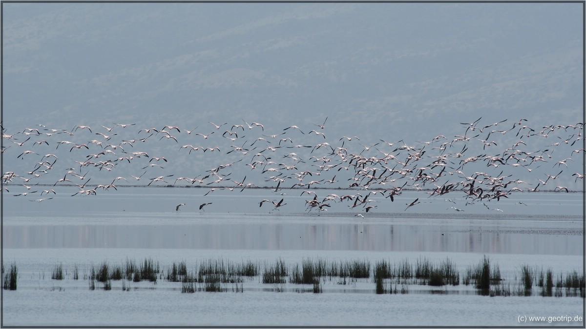 Flamingos IV