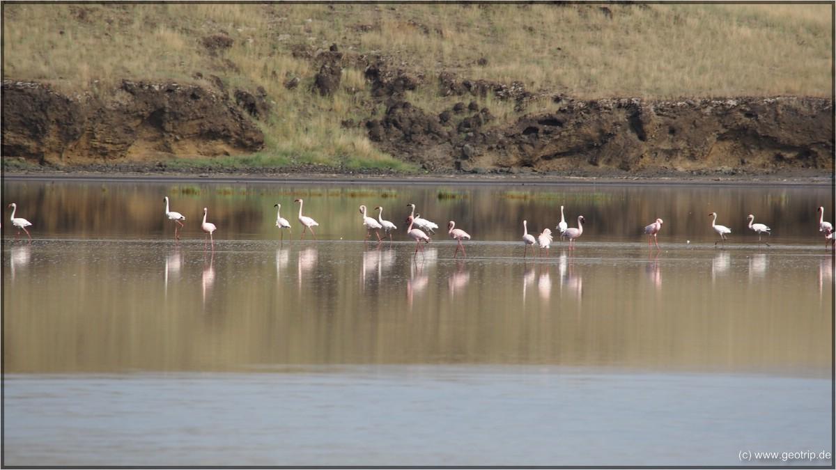 Flamingos V