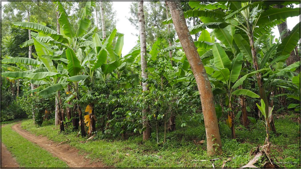 Stockwerkbau: Bäume, Bananen, Kaffee