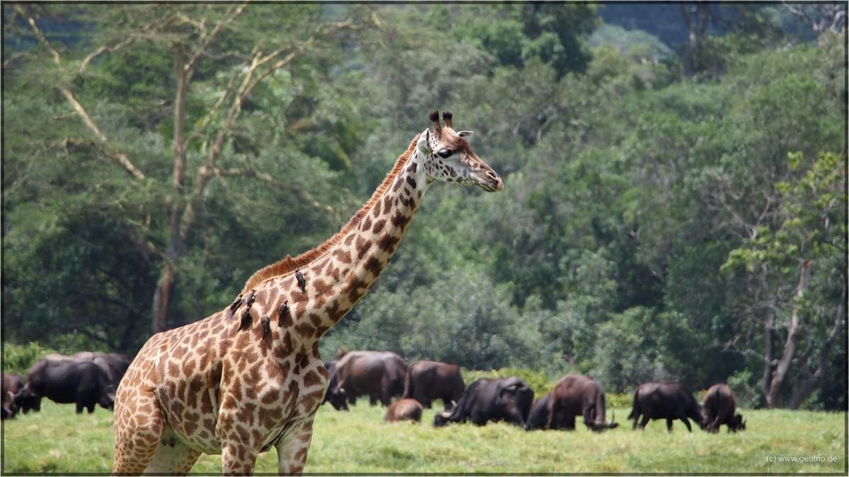 Giraffen aus Fußgängerperspektive