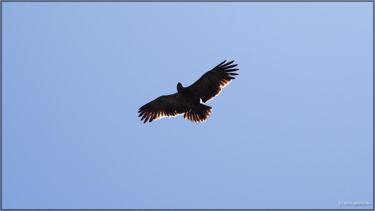 Anderswo DAS Highlight, hier mal wieder nur Beiwerk - Adler in freier Wildbahn