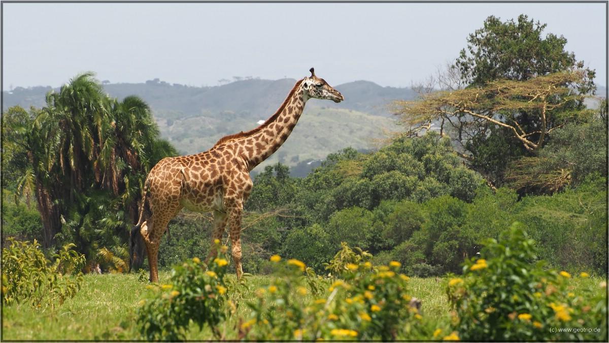 Weil es so schön ist, noch ein Giraffenbild
