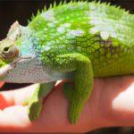 Cha Cha Chameleon…