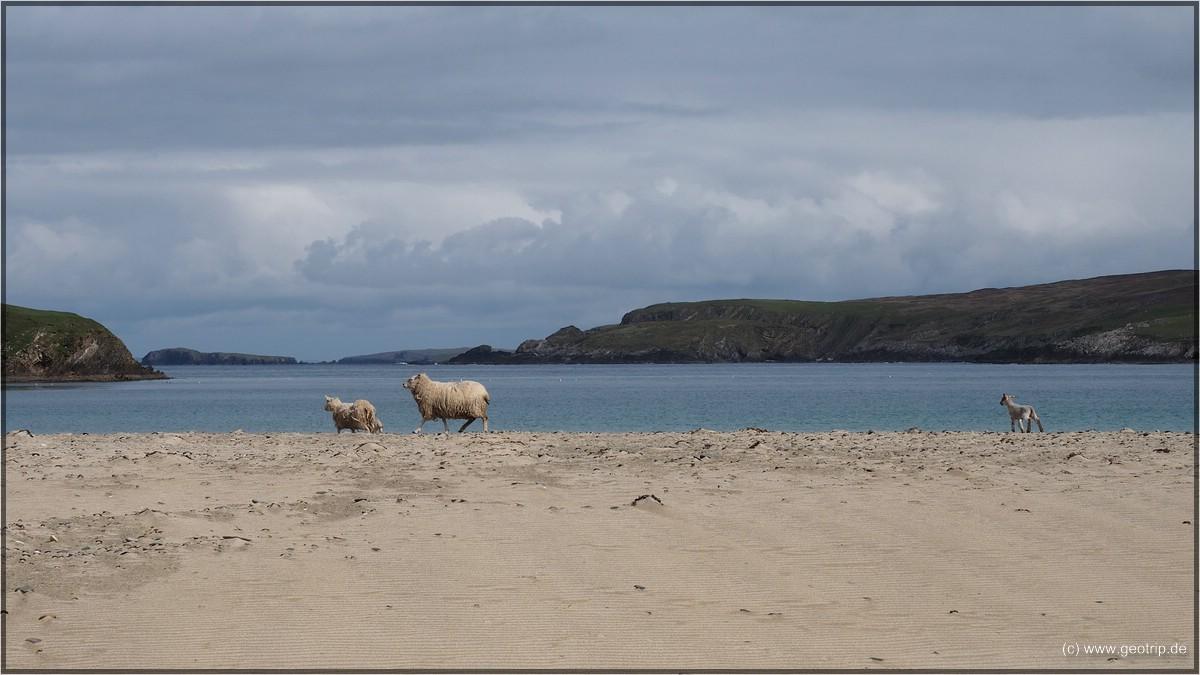 Schafe am Strand - hatten wir auch noch nicht