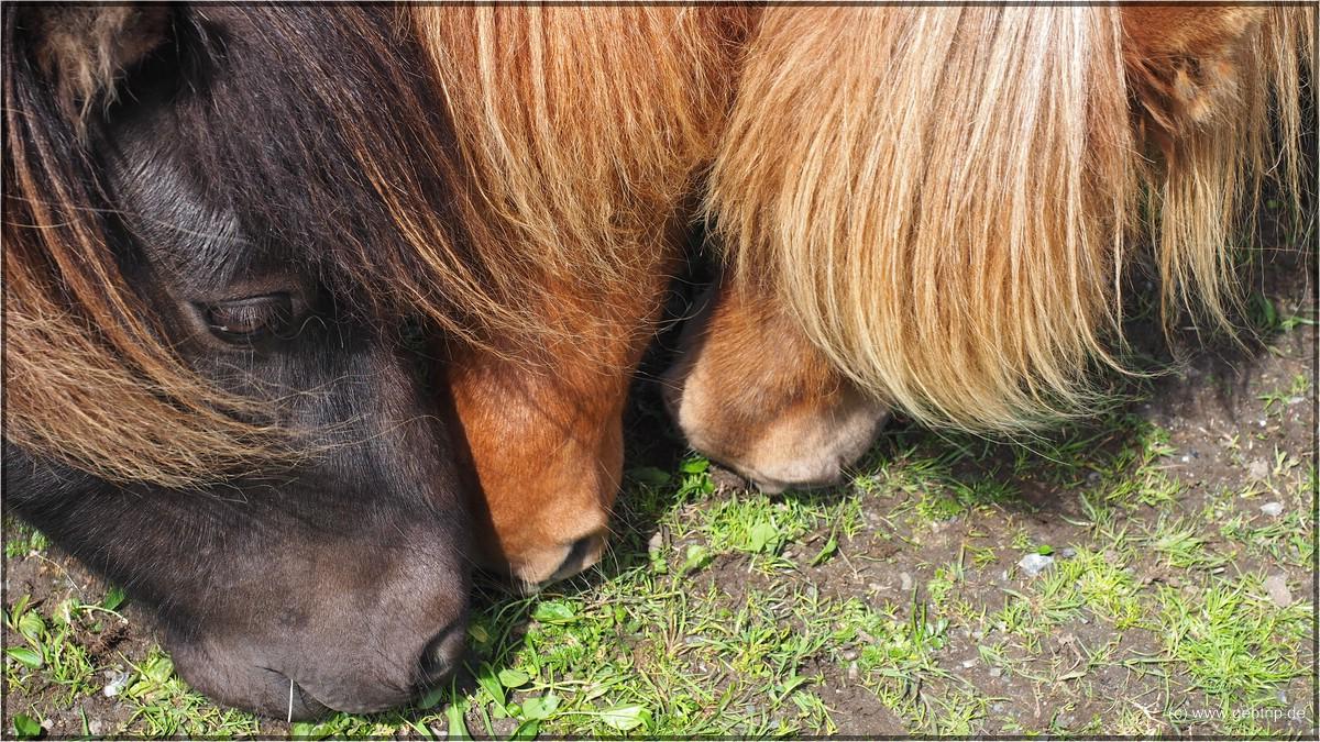 zur Ponyfütterung