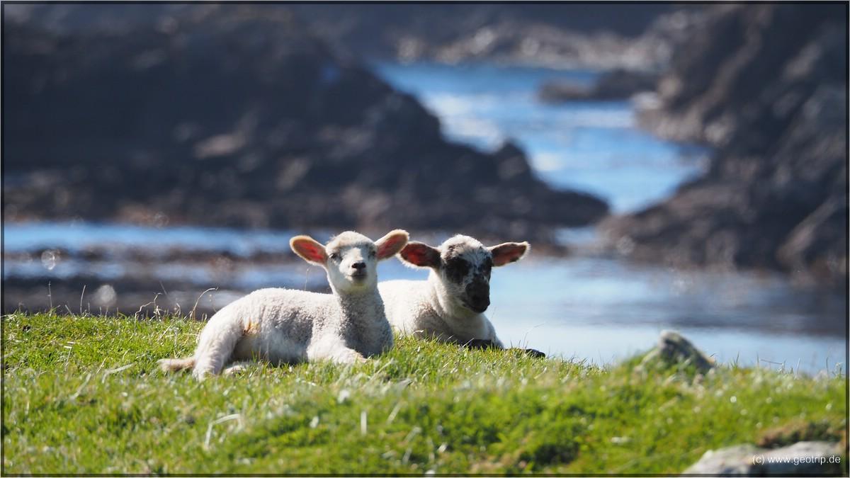 330000 Schafe leben auf den Shetlands
