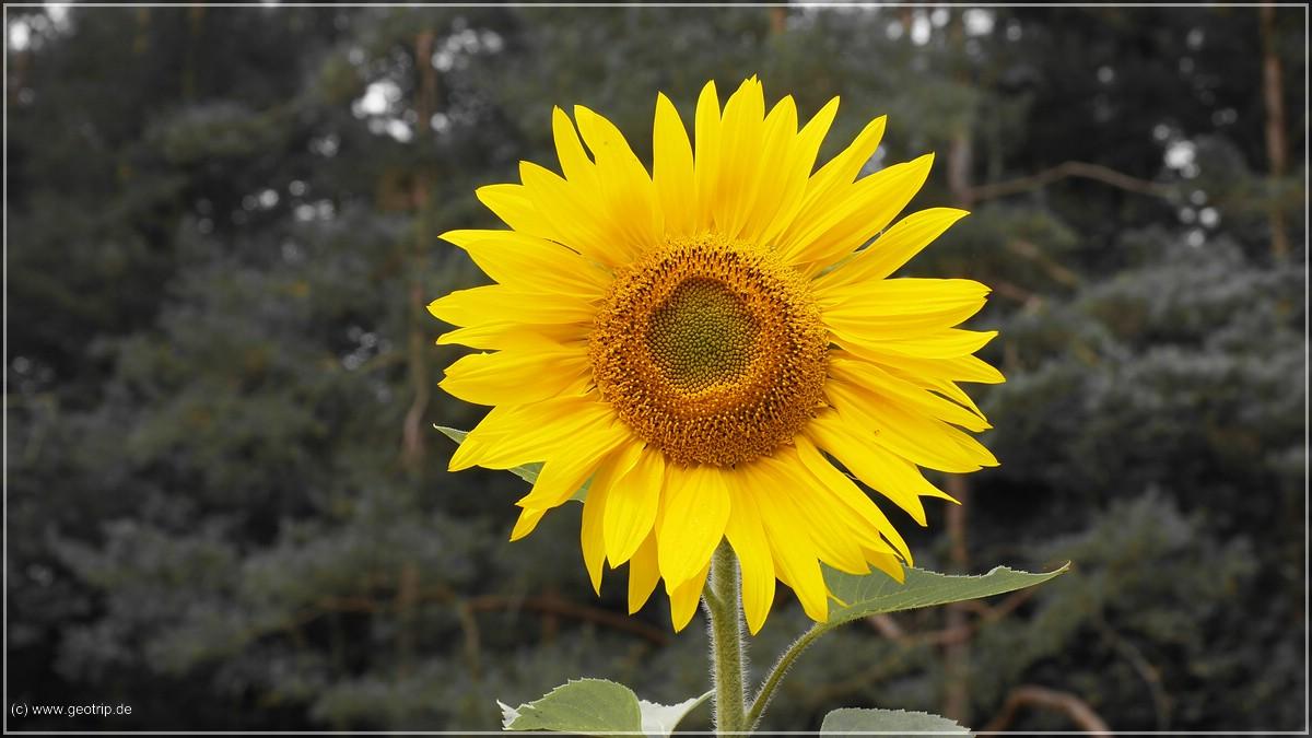 Die erste Sonnenblume des Tages - nee, die hundertste..